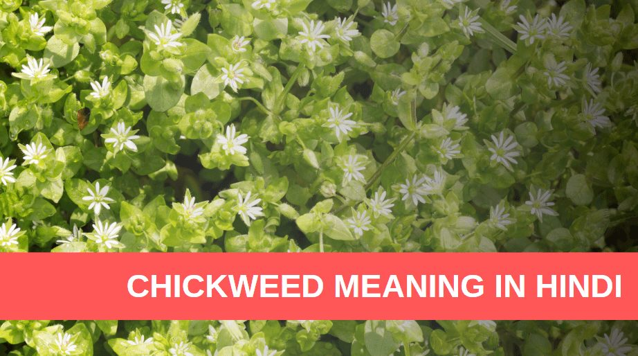 Chickweed Meaning in Hindi