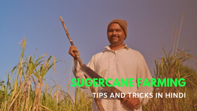 Sugercane Farming in Hindi