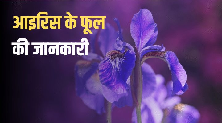 IRIS Flower in Hindi